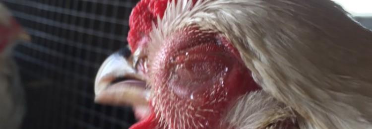 Симптомы и лечение куриной слепоты у кур