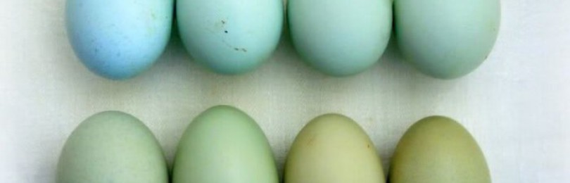 Куры, несущие голубые и зеленые яйца