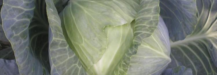 Сорт капусты Атрия