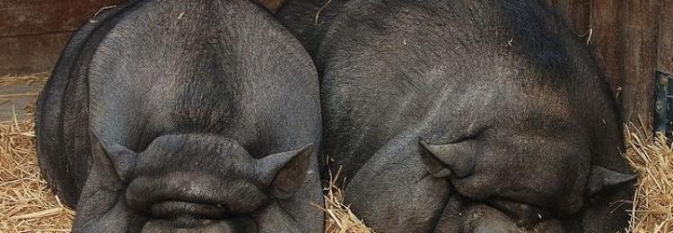 Продолжительность жизни свиней разных пород