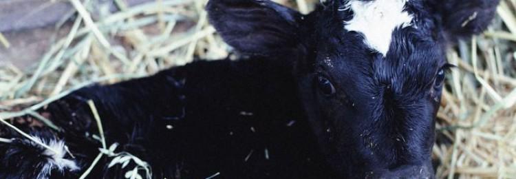 Почему теленок потеет?
