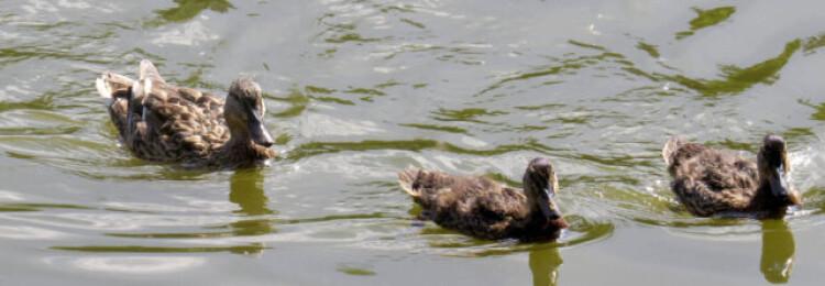 9 способов: как поймать дикую утку — проще некуда (+5 видов ловушек)
