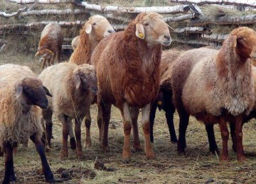 Самые большие овцы
