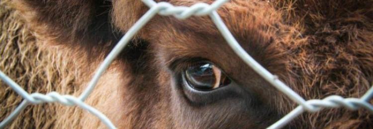 Лептоспироз у коров и крупного рогатого скота