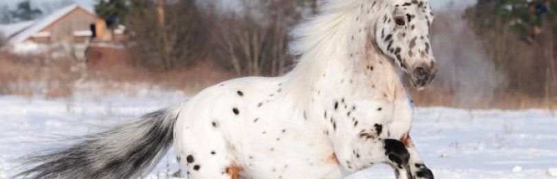 Лошадь породы аппалуза