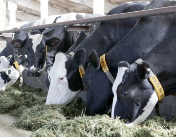 Сервис-период у коров