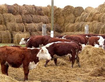 Как откормить бычка на мясо?