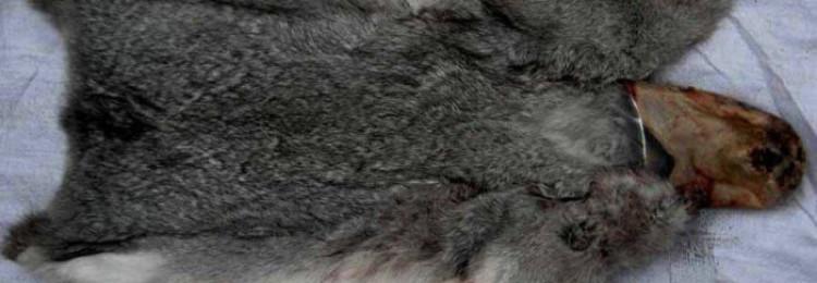 Как выделать шкурку кролика в домашних условиях?