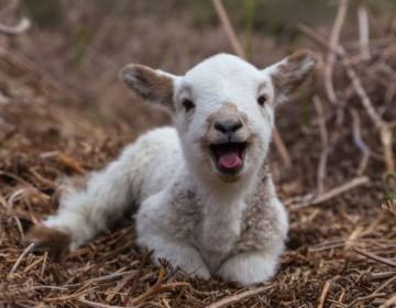 Клички овец