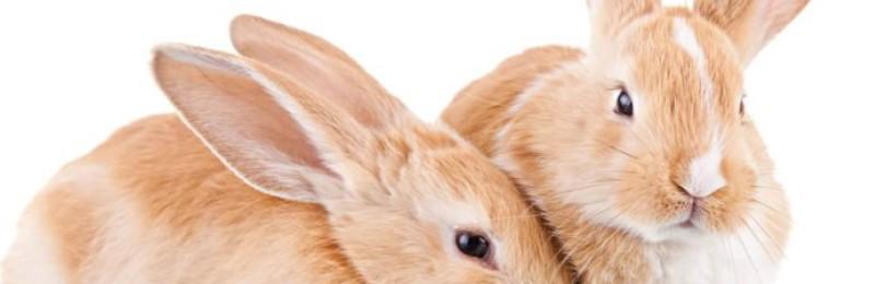 Технология случки кроликов