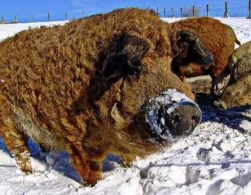 Все о породе свиней Кармалы