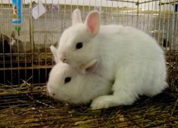 Течка у кроликов