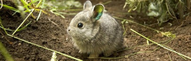 Кролик-пигмей