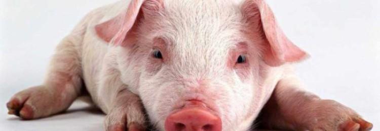 Авитаминоз у свиней