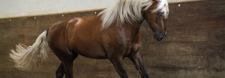 Лошадь лузитанской породы