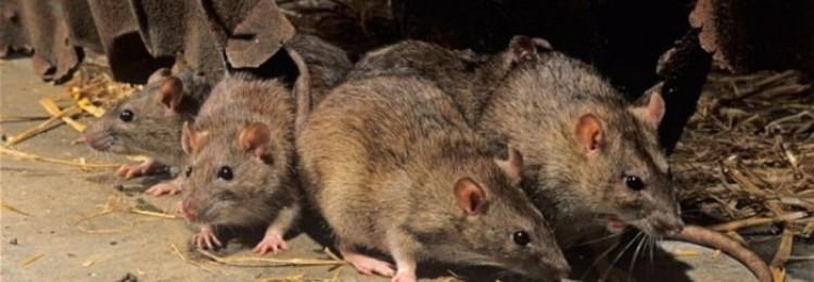 Как избавиться от крыс в курятнике?