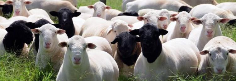 Жирнохвостые овцы