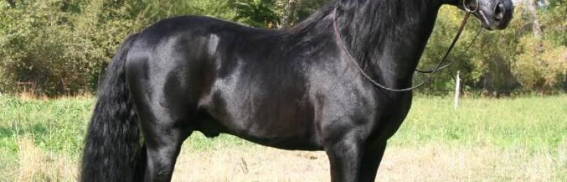 Характеристика и описание иберийской породы лошадей