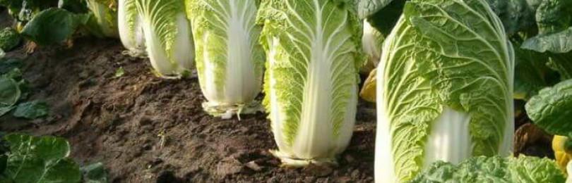 Чем подкормить и когда убирать пекинскую капусту?