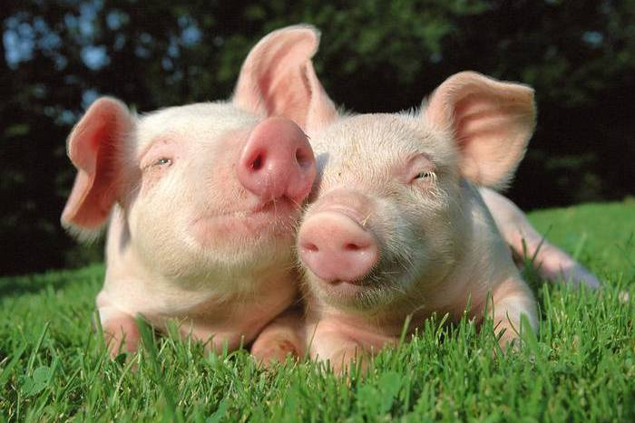 Свиньи в траве