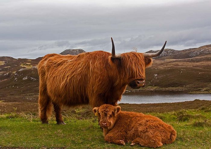 Шотландская порода