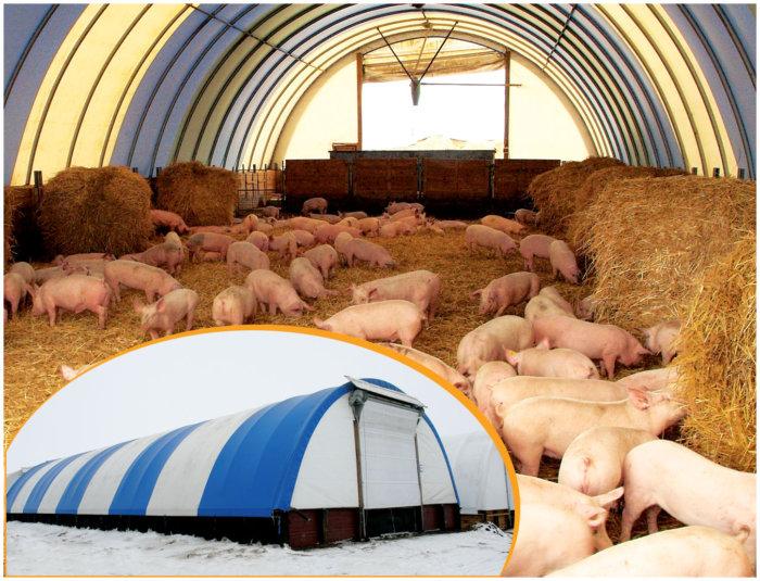 Разведение свиней по канадской технологии