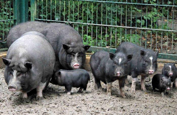 Порода вьетнамских вислобрюхих свиней
