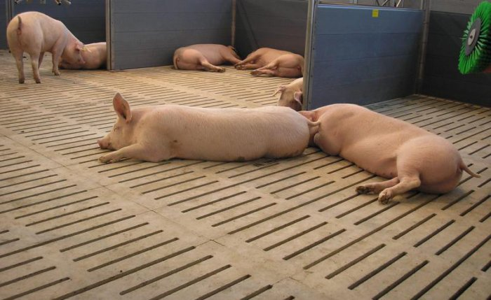 Комфортные условия в свинарнике