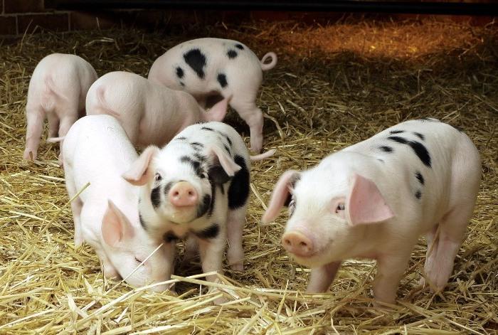 Жизнь свиней