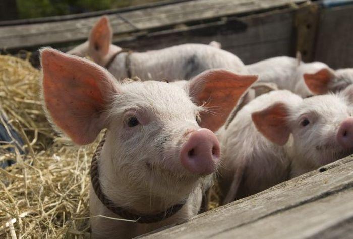 Богородчанець створив універсальний корм для свійських тварин