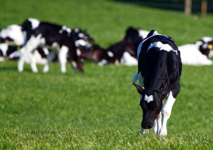 Патологии крупного рогатого скота