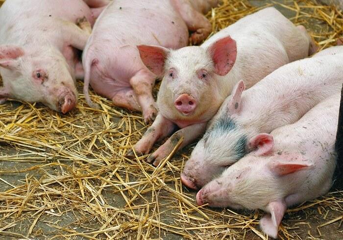 Свиньи, зараженные чумой
