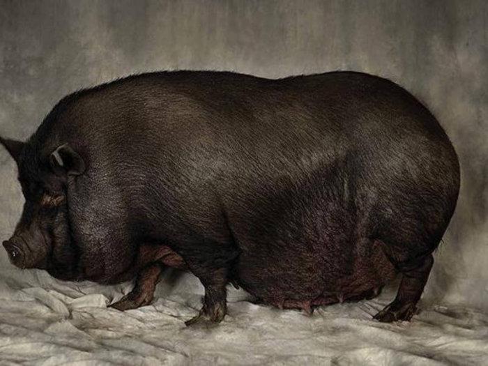 Беременность вьетнамских свиней