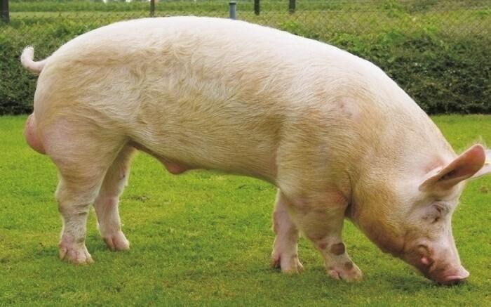 Русская белая свинья