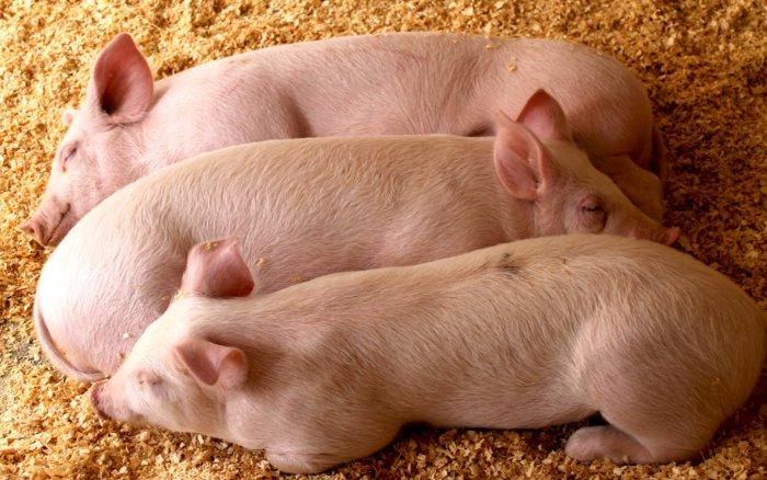 Свиньи на стимуляторах роста