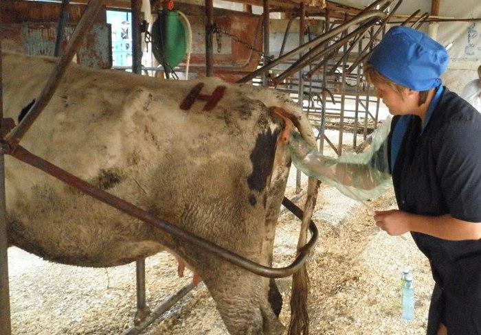 Ректальное исследование коров