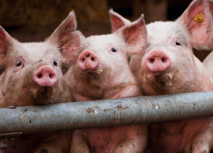 Свиной грипп у свиней