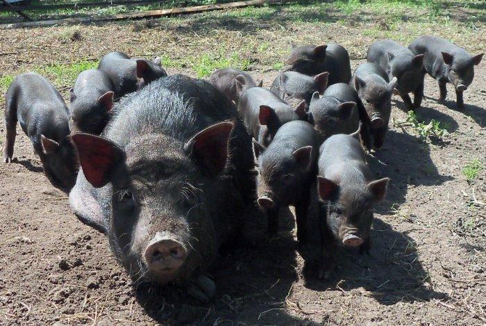 Свиноматки обладают развитым материнским инстинктом