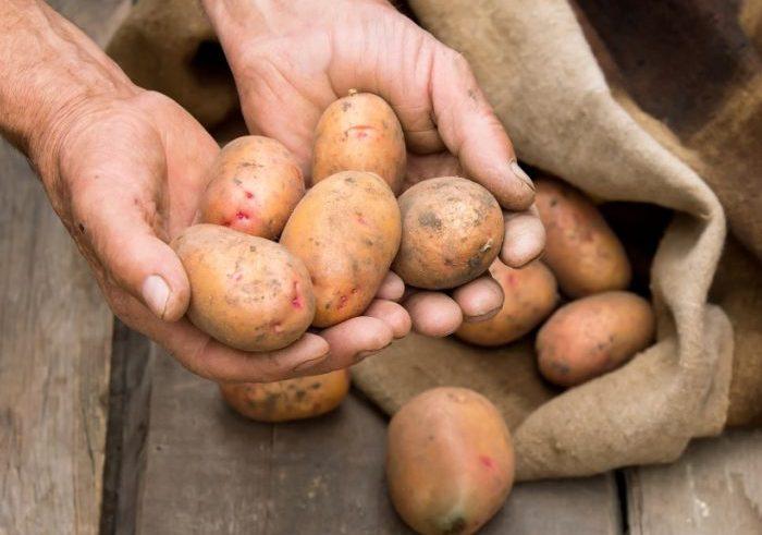Картофель для кормления свиней