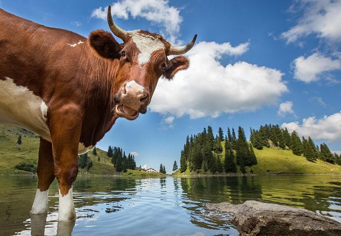 Вода для коровы