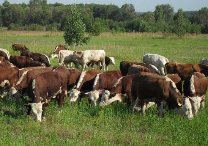 Болезнь распространяется при кучном содержании стада