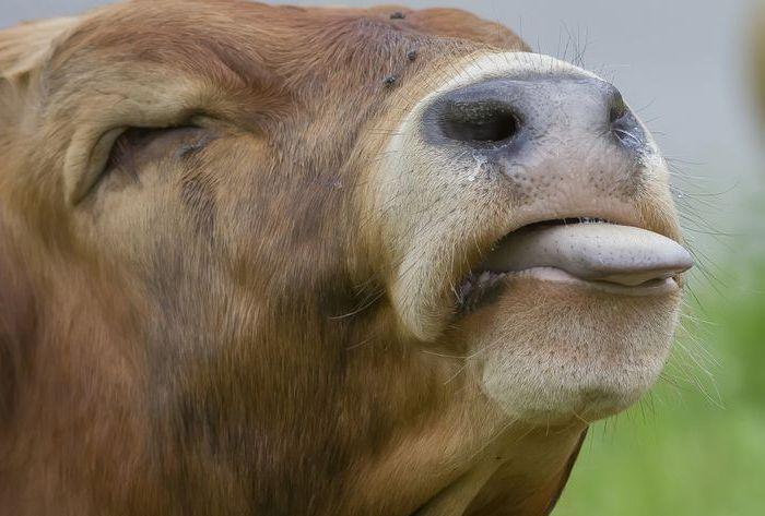 Язык коровы