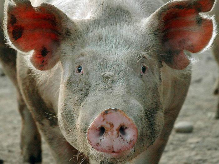 Трихинеллез свиньи