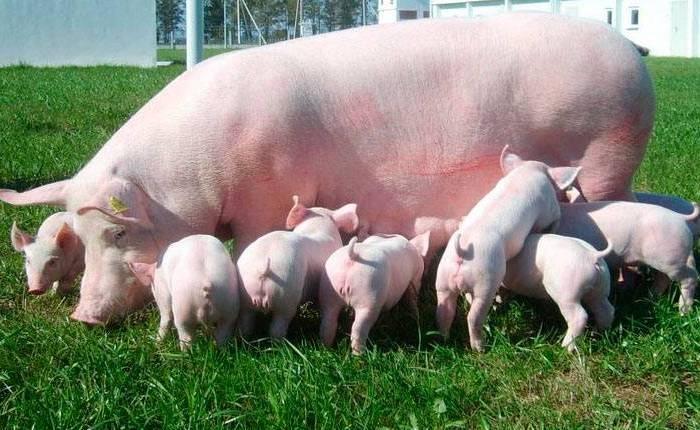 Свиньи после добавки приносят здоровое потомство