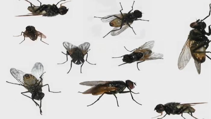 Домашние мухи переносят болезнь