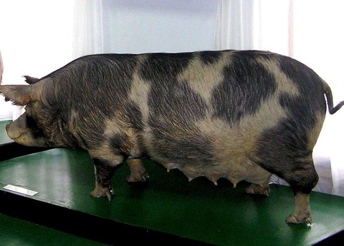 Миргородская свинья