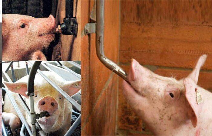 Поилки для свиней должны быть полными