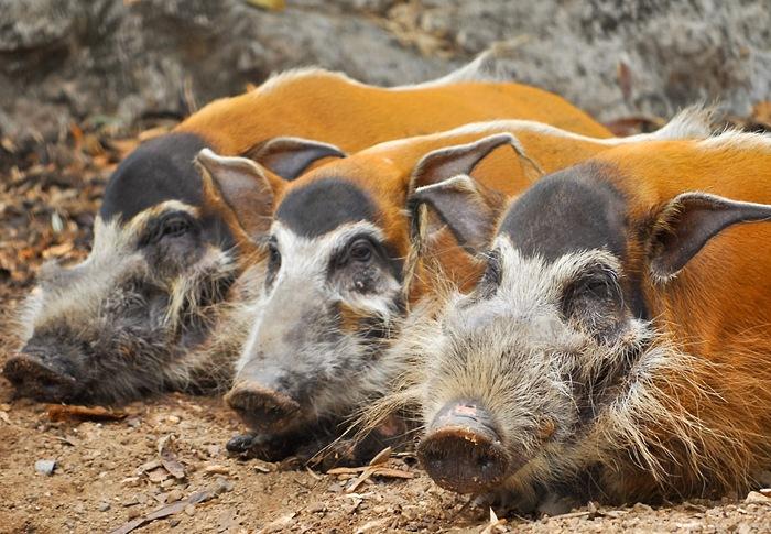 Кистеухие свиньи