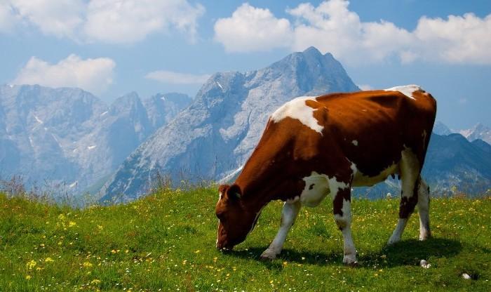 Симптомы охоты коров