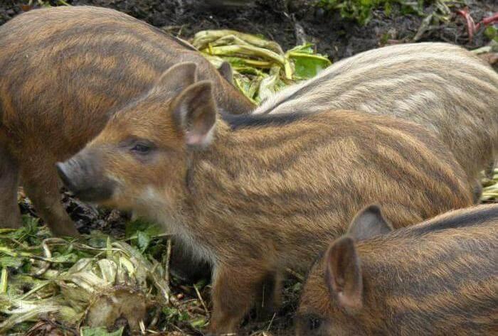 Свиньи мангал